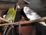 'Love birds' by sahadk, Photography->Birds gallery