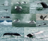 Whale Collage by ted3020, photography->animals gallery