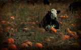 Cow In Pumpkin Patch by 0930_23, photography->animals gallery