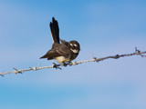 Young Wagtail by trisbert, Photography->Birds gallery