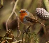 Mr Robin by biffobear, photography->birds gallery
