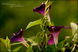 Don' Get It Twisted! by WmC, photography->flowers gallery