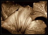 Sepia Raindrops by jesouris, photography->macro gallery
