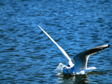 Gull Goes Swimming by braces, Photography->Birds gallery