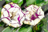 Lovely Datura's by icedancer, photography->manipulation gallery