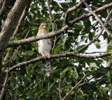 Coopers Hawk? by Jimbobedsel, photography->birds gallery
