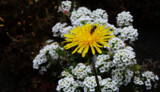 Dandelion And Friends by braces, photography->flowers gallery