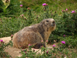 marmot mammie by CaRoma, Photography->Animals gallery