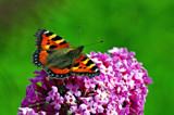 Small Tortoishell wings open by biffobear, photography->butterflies gallery