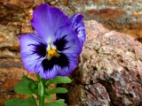 Pansy  on  the  Rocks by snapshooter87, Photography->Flowers gallery