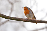 Sing Song Robin by MJsPhotos, photography->birds gallery