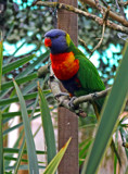 Rainbow lorikeet by biffobear, photography->birds gallery