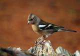 Female Chaffinch 1 by biffobear, photography->birds gallery