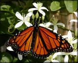Calendar Flutterby #3 by tigger3, photography->butterflies gallery