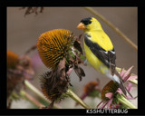 Finch and Coneflowers by ksshutterbug, Photography->Birds gallery