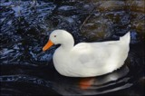 Be Like A Duck by LynEve, photography->birds gallery