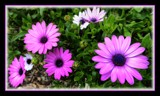 Blue Eyed Daisies by LynEve, photography->flowers gallery