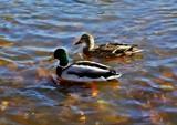 Ducks by Stevenn120, Photography->Birds gallery
