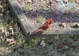 Another cardinal by gharwood, photography->birds gallery