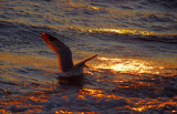 seagull in a sunset sea (two) by solita17, Photography->Birds gallery