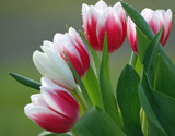 Valentine Tulips by LedsLens, Photography->Flowers gallery