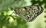 Paper Kite in greens by Paul_Gerritsen, photography->butterflies gallery