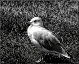 The Seagull _ B&W by tigger3, contests->b/w challenge gallery