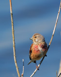 Linnet by biffobear, photography->birds gallery