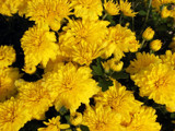 Bright Yellow Mums by Betheena, Photography->Flowers gallery