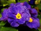 Primrose by trixxie17, photography->flowers gallery