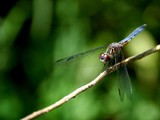 Dragonfly by gerryp, Photography->Insects/Spiders gallery