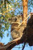 Koala by Samatar, Photography->Animals gallery