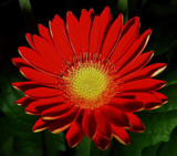 Red Gerbera by ccmerino, Photography->Flowers gallery