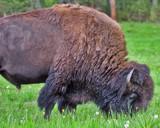 Buffalo Graze by reddawg151, Photography->Animals gallery