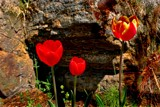 """the """"Hole in the Wall Gang"""" by snapshooter87, photography->flowers gallery"""