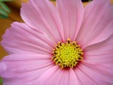 Pink Surprise by bdayfun, Photography->Flowers gallery