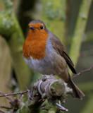 Robbie by biffobear, photography->birds gallery