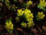Flowering Winter Aconites by kjh000, photography->flowers gallery