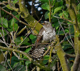 Another of the cuckoo by biffobear, photography->birds gallery