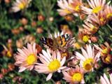 Flyboy by Hottrockin, Photography->Butterflies gallery