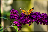 Buddleiia Worker by corngrowth, photography->butterflies gallery