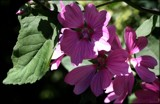 Shadowed Mallow by LynEve, photography->flowers gallery