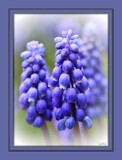 Grape Hyacinth by LynEve, photography->flowers gallery