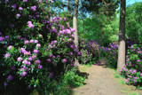 The Rhododendron Path by braces, Photography->Nature gallery