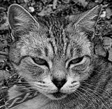Sleepy Kitty B&W by LakeMichigan, contests->b/w challenge gallery