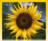 SunFlower by ccmerino, Photography->Flowers gallery