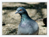 Pigeon Portrait by gerryp, Photography->Birds gallery