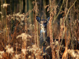 White Tailed Deer 5 by gerryp, Photography->Animals gallery