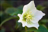 Helleborus Niger by LynEve, photography->flowers gallery