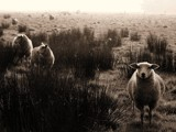 Sheeps in the mist by Paul_Gerritsen, Photography->Animals gallery